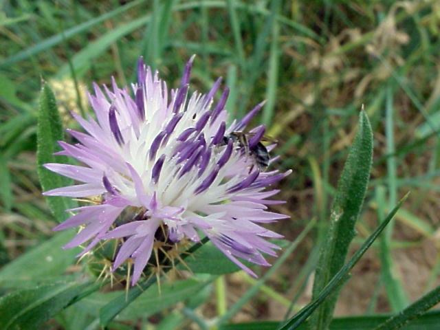 Centaurea aspera. Capitulo