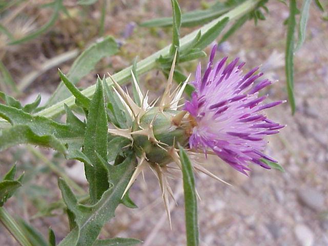 Centaurea calcitrapa. Capitulo5