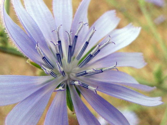 Cichorium intybus. Capitulo. Detalle