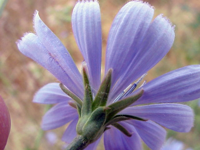 Cichorium intybus. Involucro