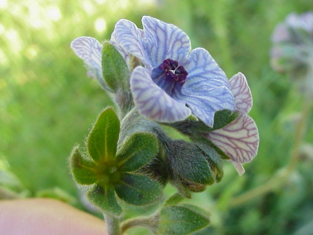 Cynoglossum creticum. Flor. Oblicua