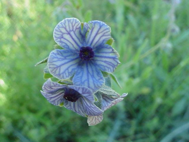 Cynoglossum creticum. Flores