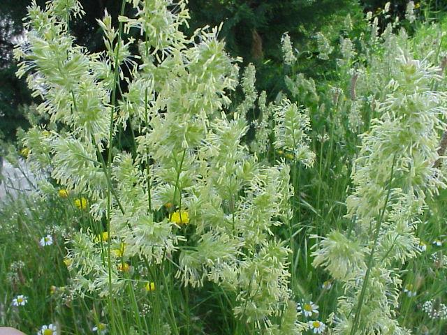 Dactylis glomerata. Floracion