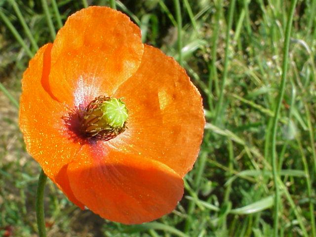 Papaver dubium. Flor