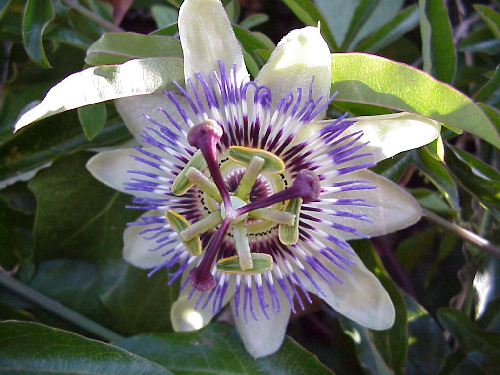 Passiflora primer plano sin retoques
