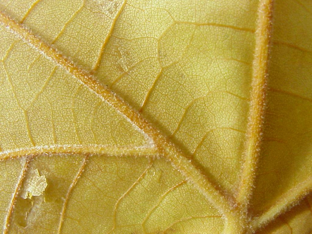 Platanus hibrida. Nervadura