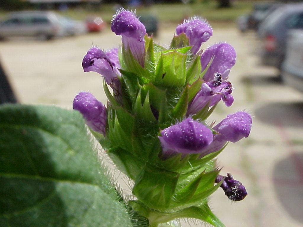 Prunella vulgaris. Espiga5
