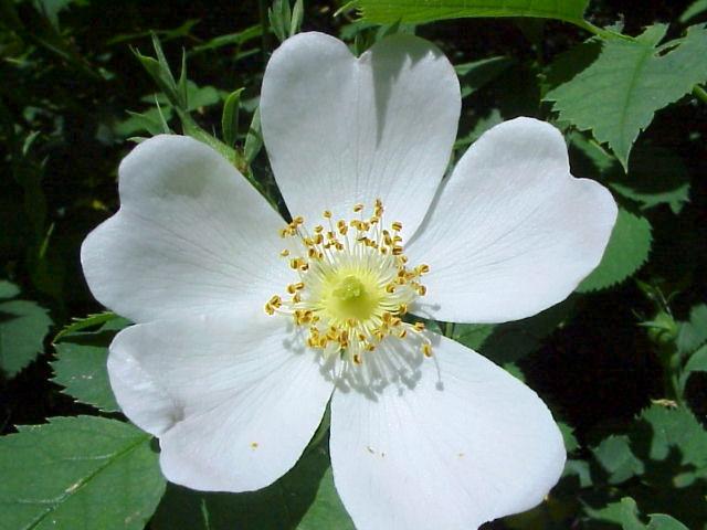 Rosa canina Flor4