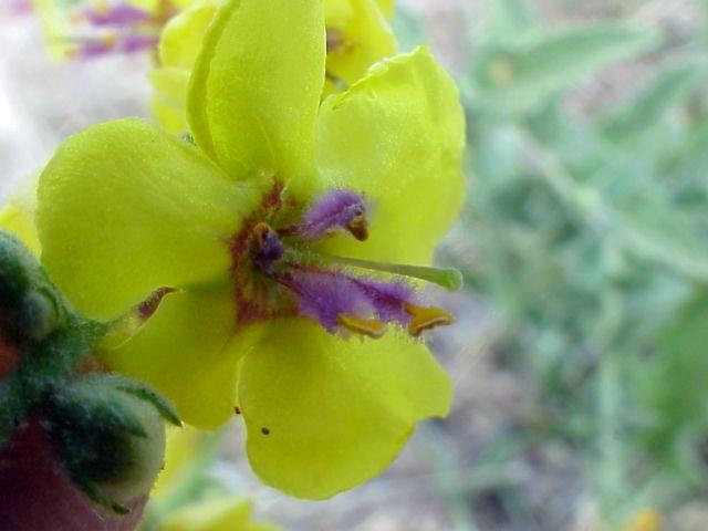 Verbascum sinuatum. Flor3