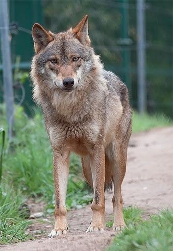 Qué viene el Lobo!!